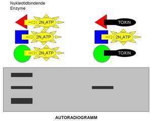 13-wissenschaftliche-grundlagen-einfuehrung-autoradiogramm